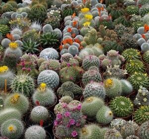 Cactus- Feng shui tree