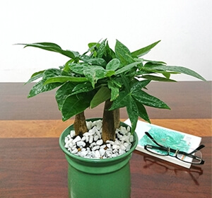 Feng shui tree - money tree