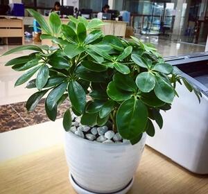 Feng Shui Tree - ngu gia bi
