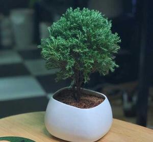 Feng shui tree - Tung Bong lai